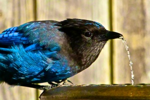 stellar jay broken foot drinking
